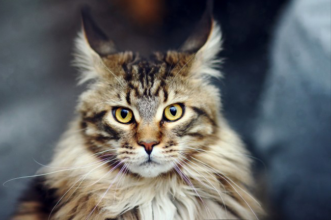 Maine-Coon.png