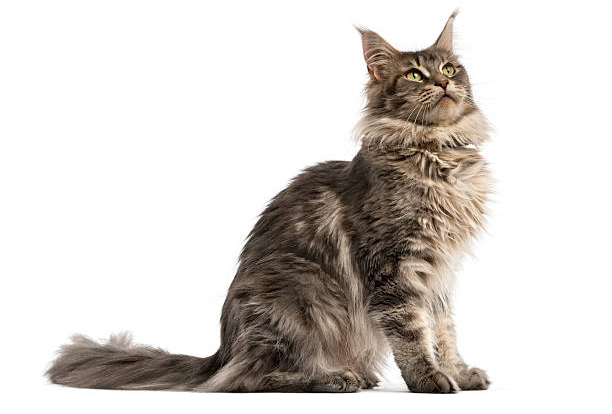 Maine-Coon2